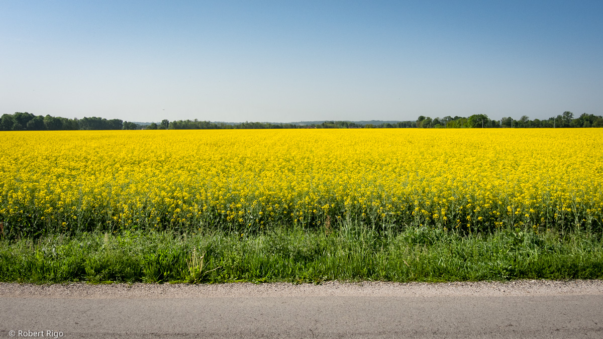 View from a road over to the wide field of rapeseed with intense yellow color. Image taken: 29.4.2018.